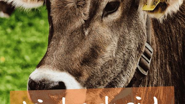 Viehschei Oberstaufen